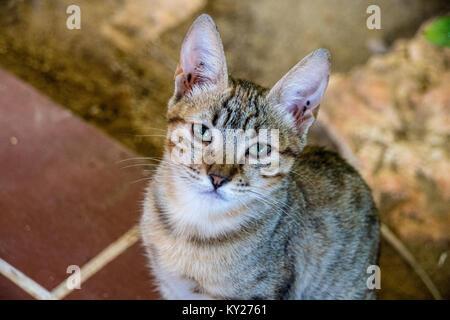 10 semaines chaton tabby avec de grandes oreilles à la recherche jusqu'à l'appareil photo Banque D'Images