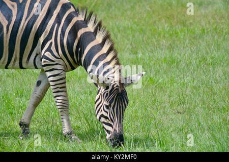 Zebra, Equus quagga, le pâturage, Zoo de l'Australie, Queensland, Australie Beerwah Banque D'Images