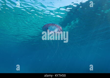 Les Méduses Aequorea près de la surface sous-marine dans la mer Méditerranée, l'Espagne, Costa Brava Banque D'Images