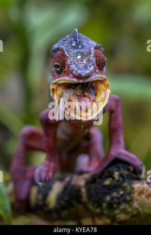 Le Furcifer pardalis caméléon panthère -, Madagascar Banque D'Images