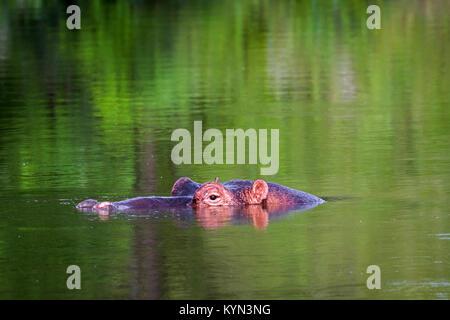 Hippopotames dans le parc national Kruger, Afrique du Sud; espèce de la famille des Hippopotamidae Hippopotamus Banque D'Images