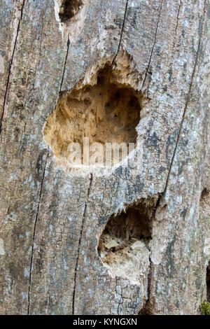 Orme pourris avec des trous dans le tronc causée par un pic d'apprendre à les vers blancs. Banque D'Images