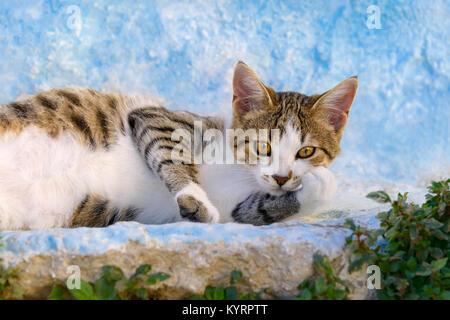 Un chat mignon chaton, brown mackerel tabby avec blanc, reposant sur un paresseux bleu blanc mur, île grecque du Dodécanèse, Rhodes, Grèce, Europe