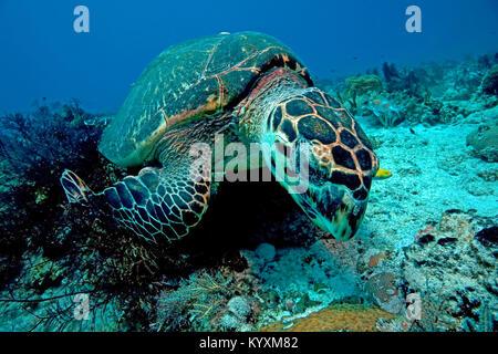 La tortue imbriquée (Eretmochelys imbricata), Playa del Carmen, péninsule du Yucatan, Mexique, Caraïbes Banque D'Images