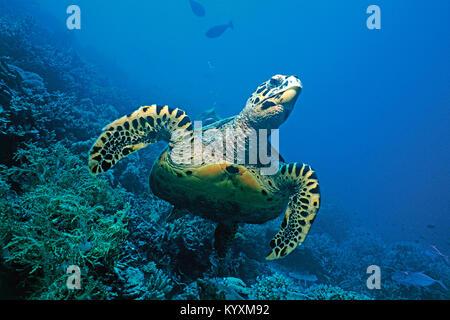 La tortue imbriquée (Eretmochelys imbricata), îles Maldives, océan Indien, Asie Banque D'Images