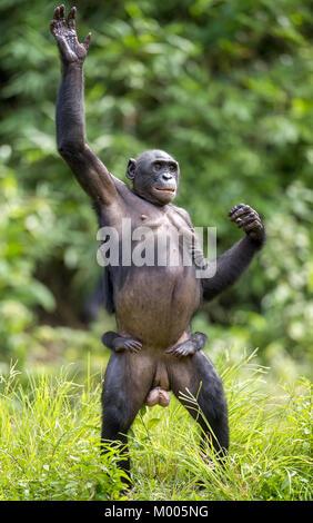Chimpanzé Bonobo Mère avec enfant debout sur ses jambes et de main. à une courte distance, Close up. Le Bonobo (pan Banque D'Images