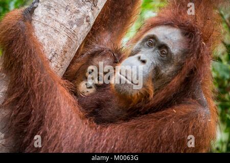 Mère et de l'orang-outan cub dans un habitat naturel. Orang-outan (Pongo pygmaeus) wurmbii dans la nature sauvage. Banque D'Images