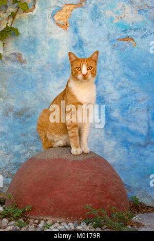 Une alerte rouge, chat mackerel tabby avec blanc, assis sur un observantly pierre ronde rouge devant un mur bleu, l'île grecque de Rhodes, Dodécanèse, Grèce