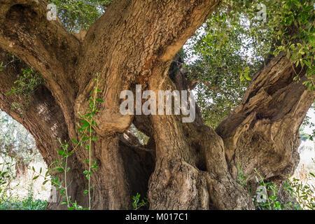 Tronc d'un grand olivier laïque en Italie, Marches.
