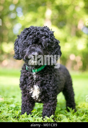 Portrait d'un caniche noir et blanc mixed breed dog outdoors Banque D'Images
