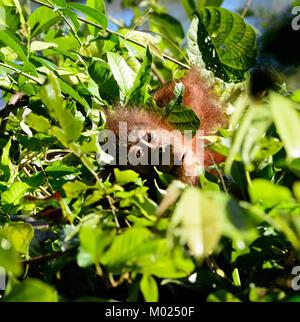 Les jeunes orang-outan (Pongo) sur le site d'un arbre, Centre de réhabilitation des Orang-outans de Sepilok, Bornéo, Banque D'Images