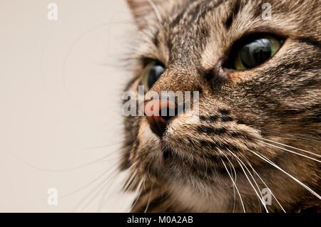 Portrait de chat domestique rocé