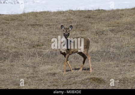 Une jeune femme deer se trouve dans un champ d'herbe brune ayant un regard tordu autour Banque D'Images