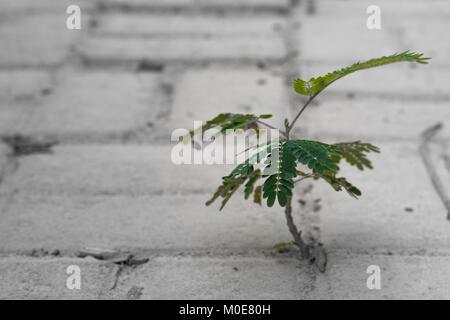 Un nouvel arbre tire de sur entre les briques de béton sur le sol. Un affichage de rusticité et de résistance. Banque D'Images