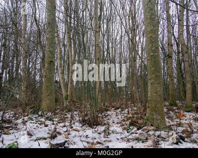 GLASGOW, ÉCOSSE - 21 janvier 2018: les feuilles mortes sur le sol enneigé dans un parc de Rutherglen, en Écosse. Banque D'Images
