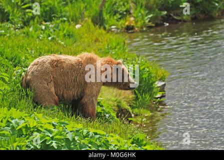 Grizzly Kodiak à regarder l'habitat près de la rivière Fraser sur l'île Kodiak Banque D'Images