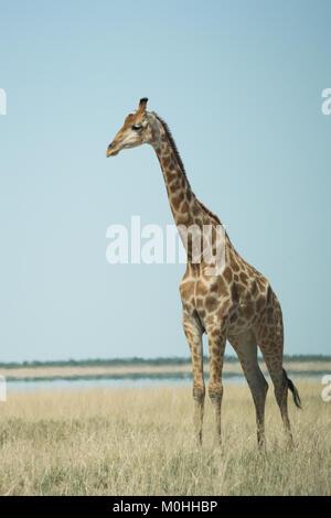 Portrait de profil d'une girafe les yeux dans la distance, seule dans l'herbe longue
