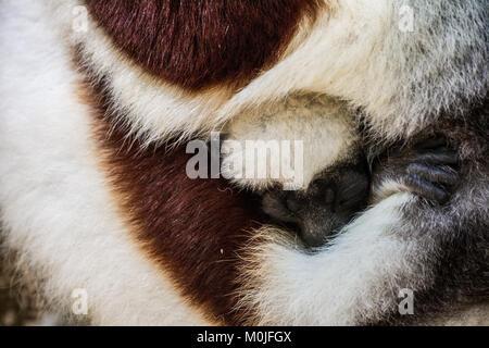Lémurien Propithèque un chiot dort chez sa mère serra Banque D'Images