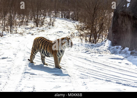 Siberian Tiger in the Siberian Tiger Park, Harbin, Chine Banque D'Images
