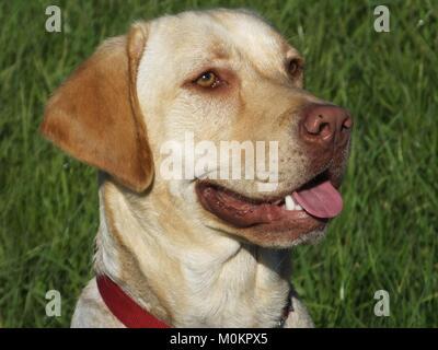 Golden Labrador Portrait dans le soleil. Buster Banque D'Images