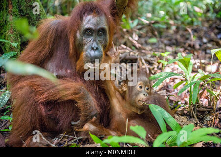 Le bébé et la mère de l'orang-outan. Mère et son petit dans un habitat naturel. Orang-outan (Pongo pygmaeus) wurmbii Banque D'Images