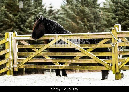 Hownam, Jedburgh, Scottish Borders, au Royaume-Uni. 16 janvier 2018. Un poney fell se distingue par une porte dans un champ couvert de neige à Towford ferme.