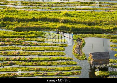 Myanmar,l'État de Shan,Taunggyi District,Nyaung Shwe,Ville,de l'habitat lacustre jardins flottants,tomate,cultures Banque D'Images