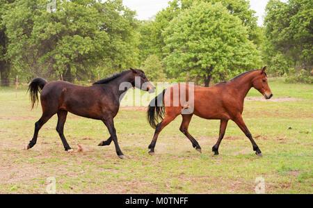 Deux chevaux arabes de course et le pâturage au printemps