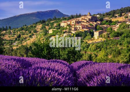 Champ de lavande en fleurs à Aurel, Sault village perché en Vaucluse, Provence, France Banque D'Images