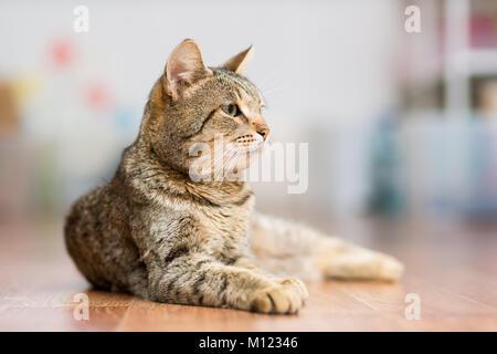 Adultes gris mongrel cat se trouve sur le sol l'étirement des pattes avant Banque D'Images
