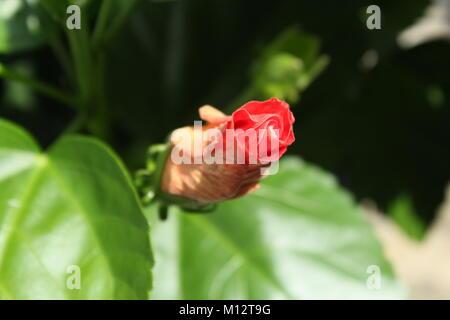 Fleur d'hibiscus, à peine un bourgeon. Un plan macro très ciblés. Banque D'Images