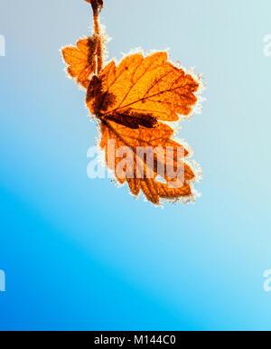 Arbre d'automne feuilles lumineuses pendaison couverte de cristaux étincelants de givre dans le jardin en plein Banque D'Images