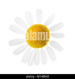 Close-up de la Camomille (Matricaria chamomilla) isolé sur fond blanc. Selective focus faible profondeur de champ. Banque D'Images