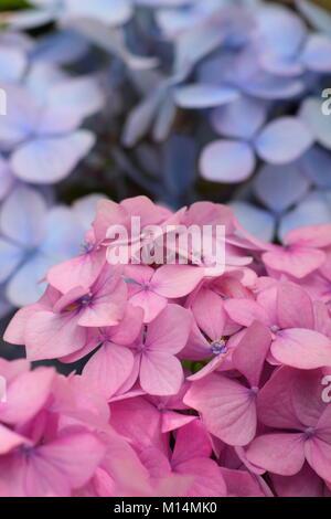 Balai rose et bleu de fleurs Hydrangea macrophylla 'Bouquet Rose' affichage de la sensibilité des plantes à la coloration Banque D'Images