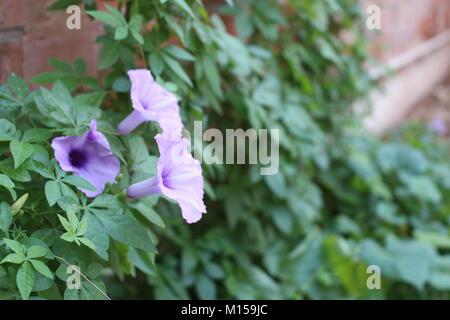 Morning Glory est une des belles plantes. Ce photos sont la combinaison de fleur avec murs en briques rouges traditionnelles. Banque D'Images