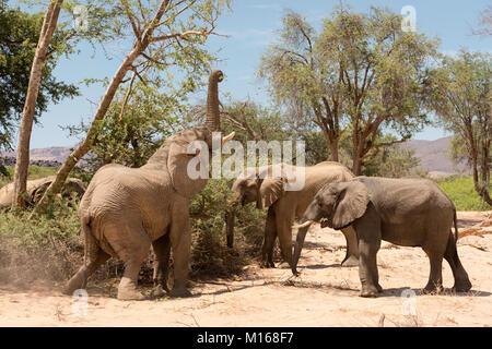 Un groupe d'Éléphants adaptés du désert se nourrir dans la rivière Huab Abu sec lit dans le Damaraland, Namibie.