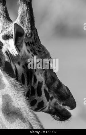 Close up serré de la tête de girafe. Noir & blanc portrait artistique, étude, très détaillée: sunlit, Gentle Giant. Banque D'Images