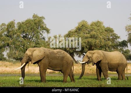 Les éléphants d'Afrique (Loxodonta africana), deux taureaux pâture sur une petite île dans le Zambèze, Lower Zambezi Banque D'Images