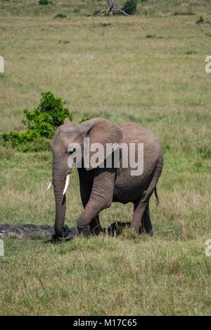Dans l'éléphant d'Afrique Kenya Masai Mara Banque D'Images
