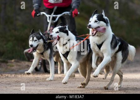 Aviemore, ÉCOSSE - 28 janvier 2018: Le Husky Sibérien Club de Grande-bretagne étapes son 35e Rassemblement de chiens Banque D'Images