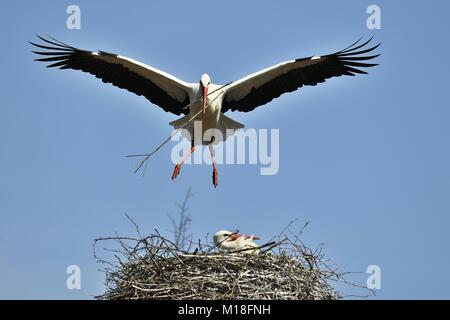 Cigognes blanches (Ciconia ciconia),avec le matériel du nid d'aigle près,Canton de Zurich, Suisse Banque D'Images