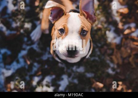 A 11 semaines chiot beagle mix regarde vers l'appareil photo sur une journée ensoleillée Banque D'Images
