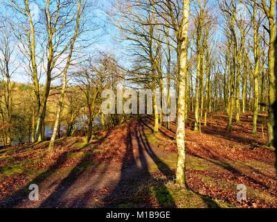 Au sommet d'une douce montée forestiers le soleil d'hiver shinies à travers les grands arbres casting de longues Banque D'Images