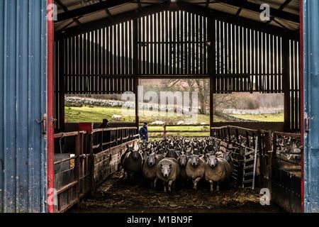 Swinside, Jedburgh, Scottish Borders, au Royaume-Uni. 25 janvier 2018. Brebis Cheviot sont réunis dans une ferme Banque D'Images
