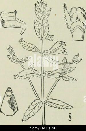 Une flore illustrée du nord des États-Unis, le Canada et les possessions britanniques - de Terre-Neuve à la parallèle de la limite sud de la Virginie et de l'océan Atlantique à l'ouest (14597131178)