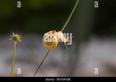 Petit Escargot brun est l'exploration sur brin d'herbe - macro photographie Banque D'Images