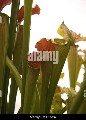Fleurs de Sarracenia nord-américain close up