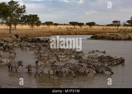 Troupeau de zèbres (Equus quagga) eau potable, le Parc National du Serengeti, Tanzanie, Afrique orientale, Afrique Banque D'Images