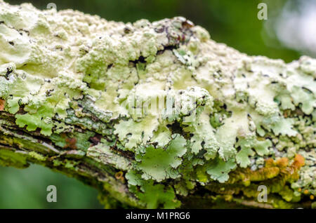 Hypogymnia physodes croissant sur une vieille branche d'arbre. Le lichen. Banque D'Images