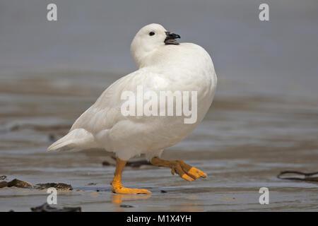 Gander Goose varech Banque D'Images